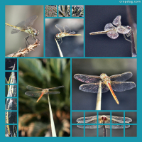 Photo Collage Dragonflies