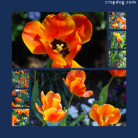 Photo Collage Tulips
