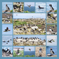 Photo Collage Puffins On Inner Farne