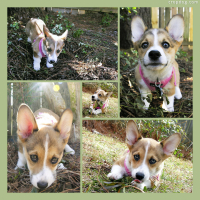 Photo Collage Sadie - Corgi Puppy